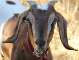 Elwood the goat smiling at his pet sitter